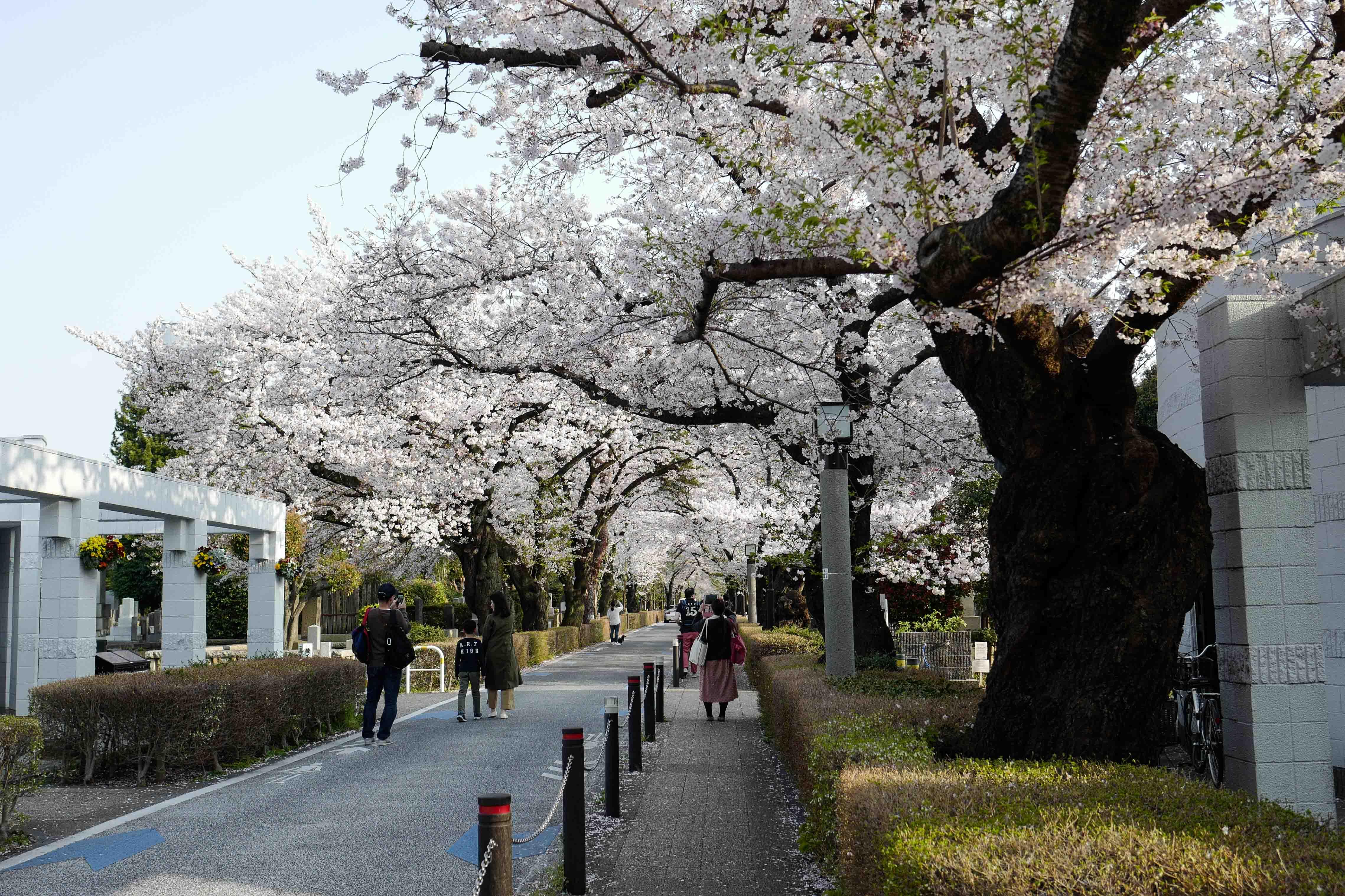 Leica Qで桜@青山墓地