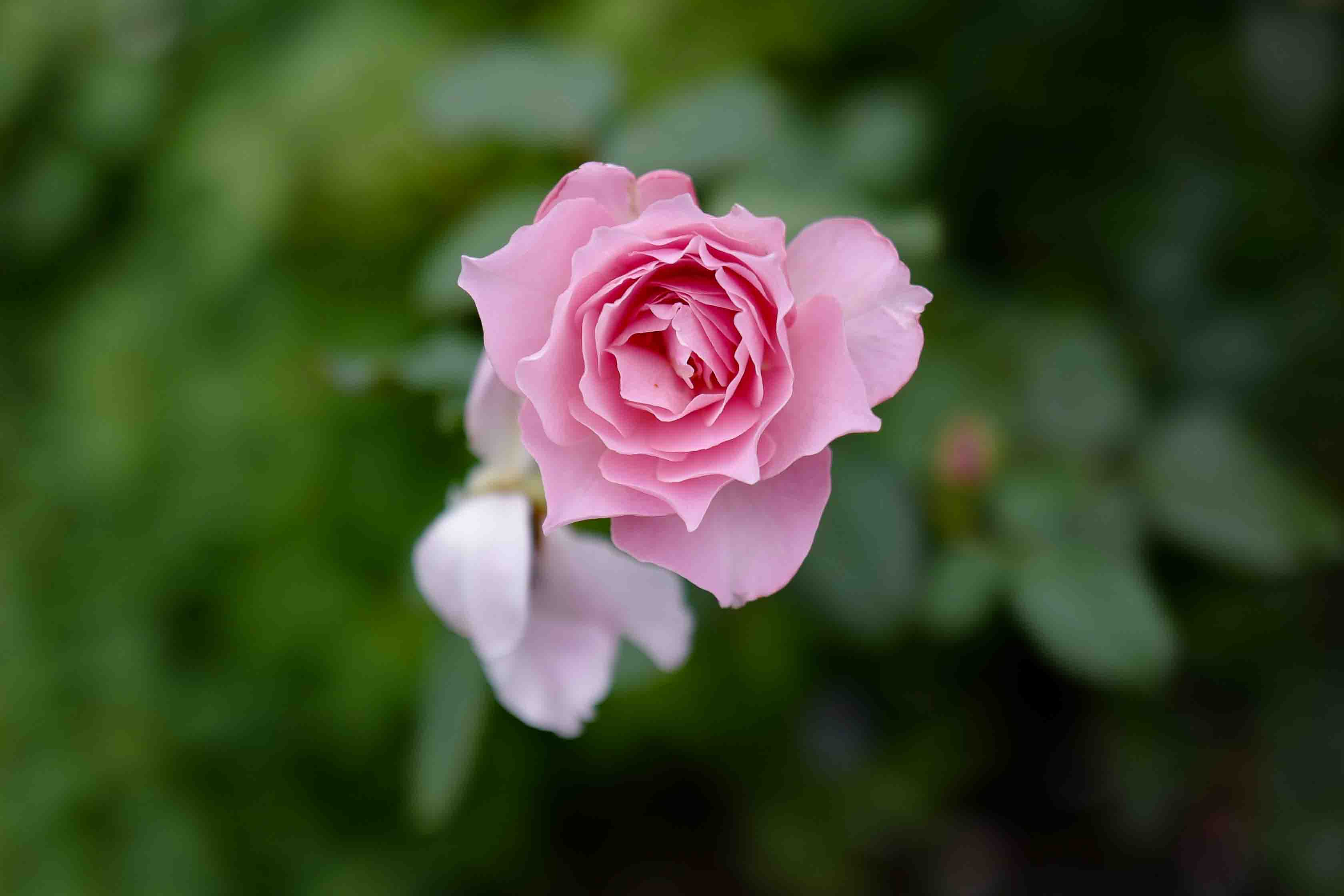 バラに癒される 横浜 港の見える丘公園 LeicaQ作例